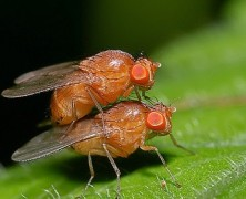 Sexually Frustrated Fruit Flies